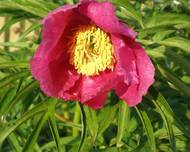 A photo of Paeonia