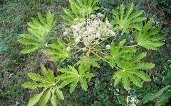 A photo of False Castor Oil Plant