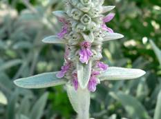A close up of some purple flowers on a soft Stachys byzantina plant