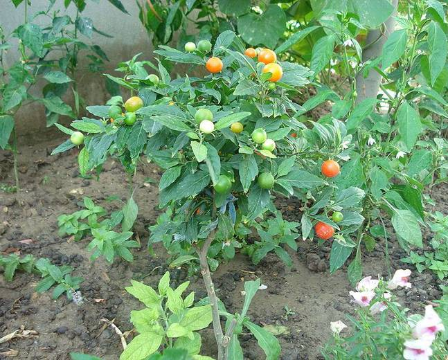 Some orange fruits and green leaves of a Solanum pseudocapsicum plant in the wild