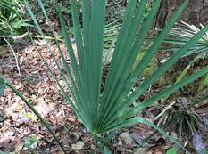 A young specimen of Sabal minor growing in a botanic garden