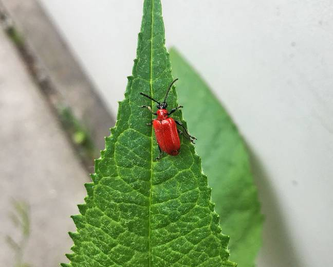 A close up image of a scarlet lily beetle Lilioceris lilii resting on a green lily leaf
