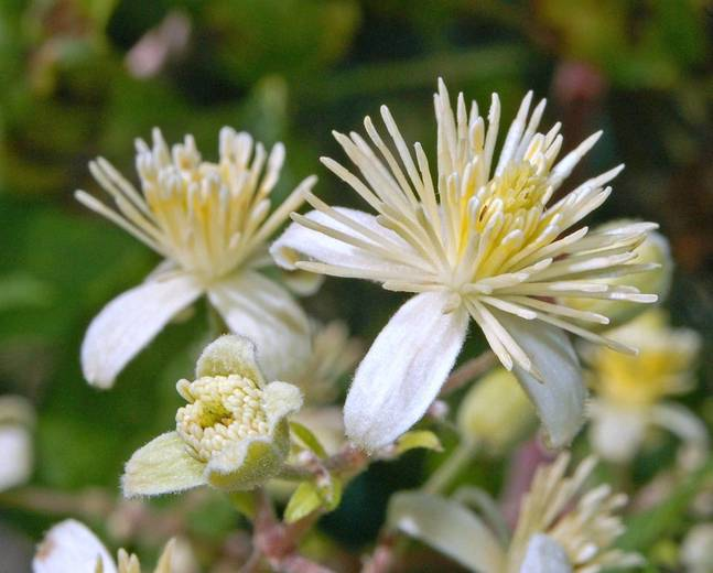 A close up of some white Clematis flowers