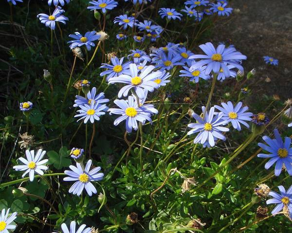 A picture of a Blue Daisy