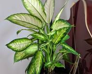 A photo of Dumb Cane 'Camille'