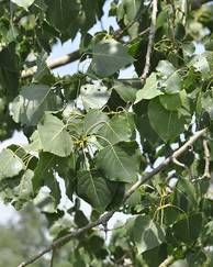 A photo of Black Poplar