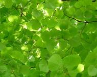 A photo of Small Leaved Lime