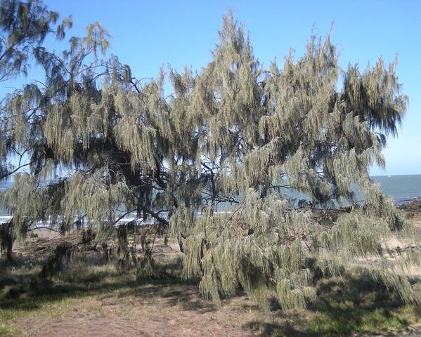 A picture of a Casuarina