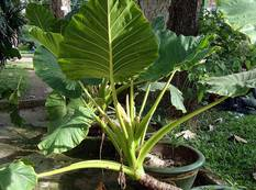 A green Alocasia macrorrhizos plant in a pot