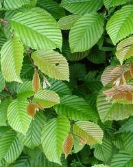 A photo of Hornbeam