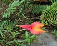 A photo of Veitch's Masdevallia