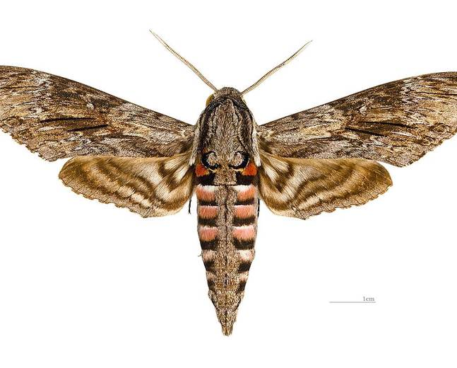 A close up photograph of a Convolvulus Hawk-moth Agrius convolvuli against a white background to scale