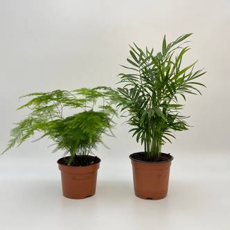 Plant Bundle, Asparagus Fern, Parlor Palm Mix