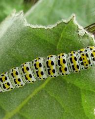 A photo of Mullein Moth