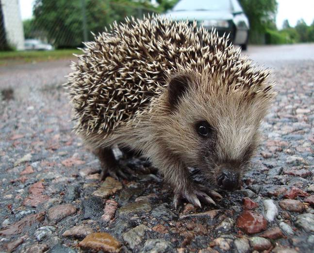 A cute Erinaceidae hedgehog standing on some stones