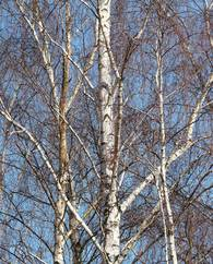 A photo of Birch