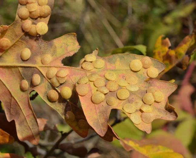 A close up of galls produced by gall wasps in the Neuroterus genera