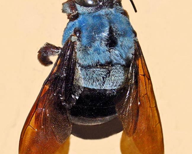 A close up of a carpenter bee from the genus Xylocopa on a white surface