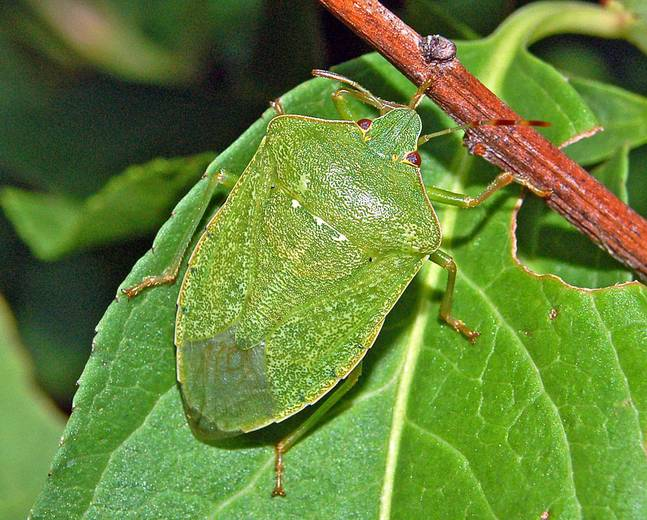 A close up of a Nezara viridula southern green shield bug on a plant
