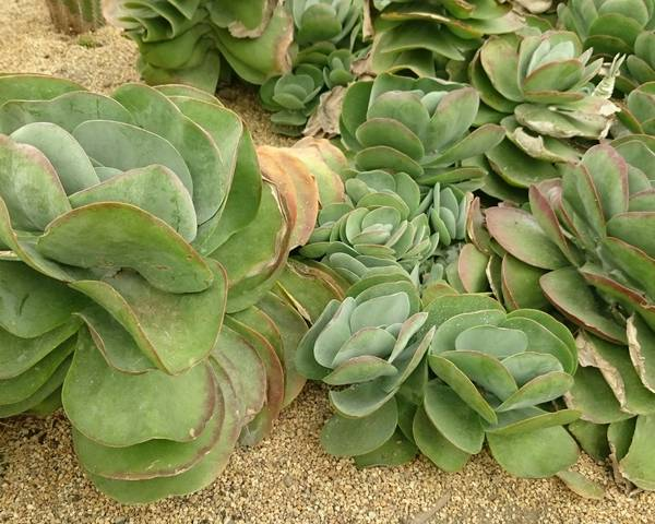 A picture of a Paddle Kalanchoe