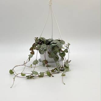 String of Hearts, Hearts Entangled, Sweetheart Vine, 11 cm hanging pot