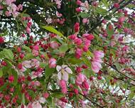 A photo of Japanese Crab Apple