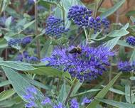 A photo of Caryopteris