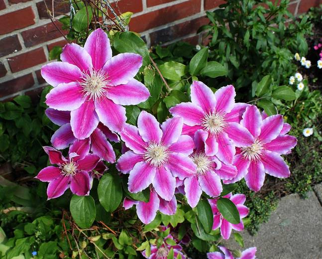 A close up of some pink and white Clematis flowers