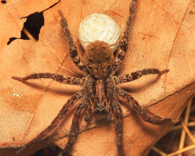 A close up photograph of a wolf spider with its egg sac