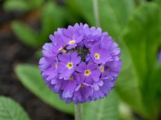 A close up of some purple Primula denticulata flowers