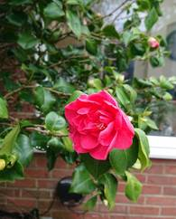 A photo of Common Camellia
