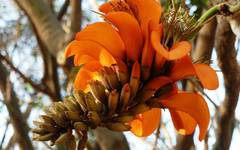 A photo of Coast Coral Tree
