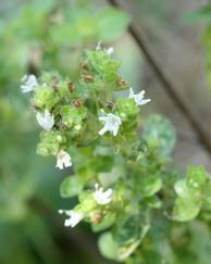 A photo of Marjoram