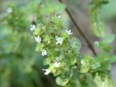 A close up of a flowering Origanum majorana plant