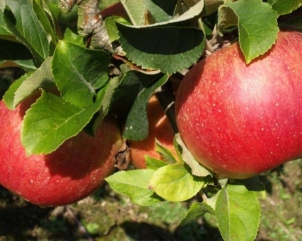 A picture of a Apple 'Lord Lambourne'