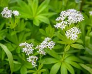 A photo of Galium