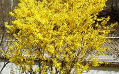 A photo of Forsythia x intermedia 'Spring Glory'