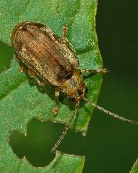 A photo of Viburnum Beetle