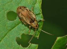 A Pyrrhalta viburni Viburnham Leaf Beetle on a leaf