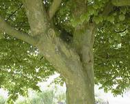 A photo of Celtis