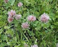 A photo of White Clover