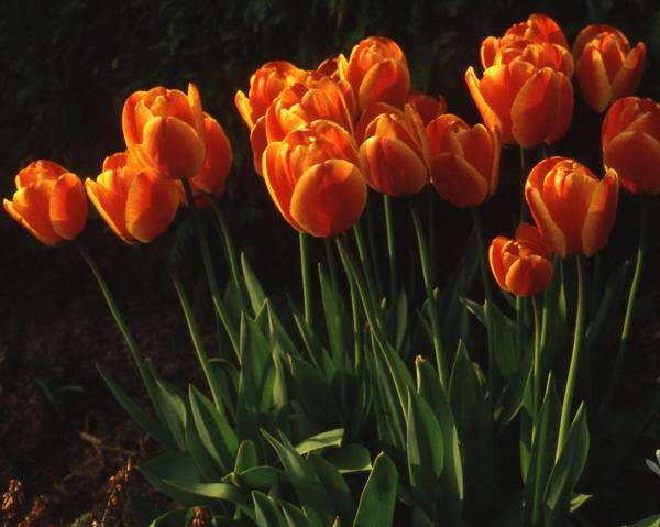 A picture of a Tulip 'Abu Hassan'
