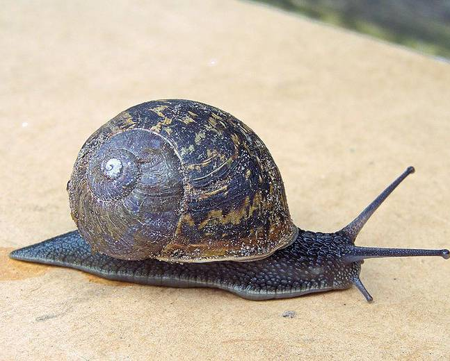 A Cornu aspersum common garden snail sitting on the ground