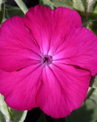 A photo of Lychnis Coronaria 'Atrosanguinea Group'
