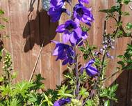 A photo of Aconitum