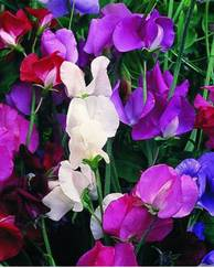 A photo of  Sweet Pea 'Spencer Mix'