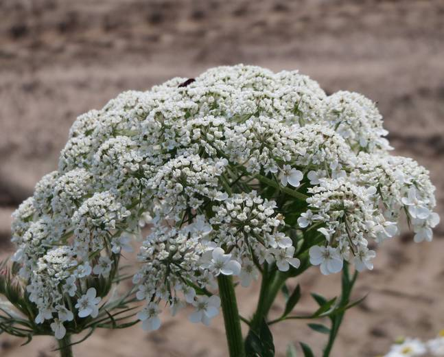 A close up of some white Heracleum sphondylium flowers on an umbel