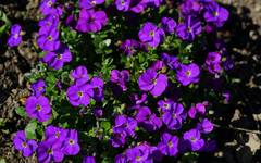 A photo of Aubretia 'Royal Velvet'
