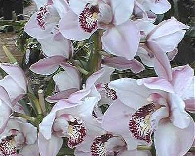 A picture of a Orchid