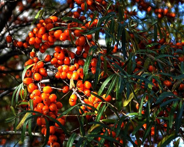 A picture of a Sea Buckthorn